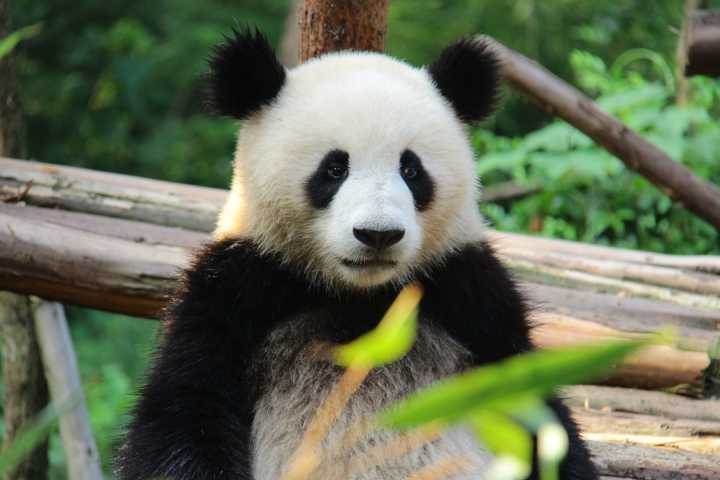熊猫为什么会获得全世界人的喜爱?