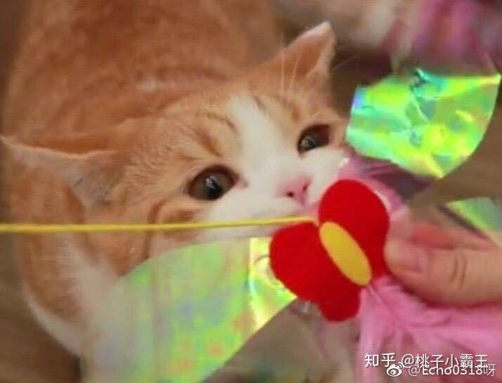 (可以去微博搜索花花与三猫catlive,或者b站搜索花花与三猫catlive