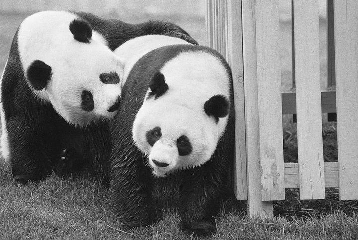 大熊猫究竟有多可爱?