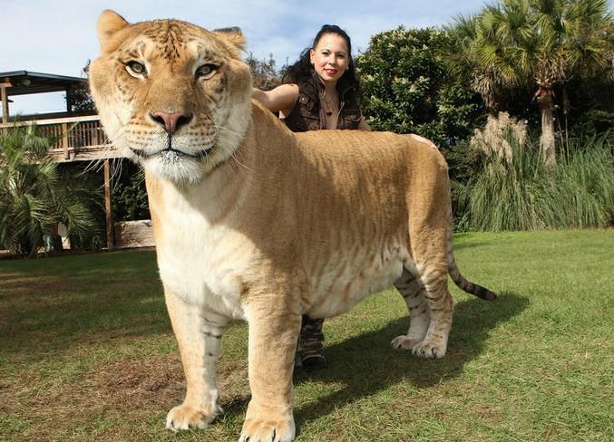 狮子和老虎交配产生的后代身躯庞大