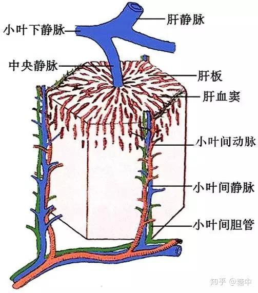 【肝小叶构造简介】图片