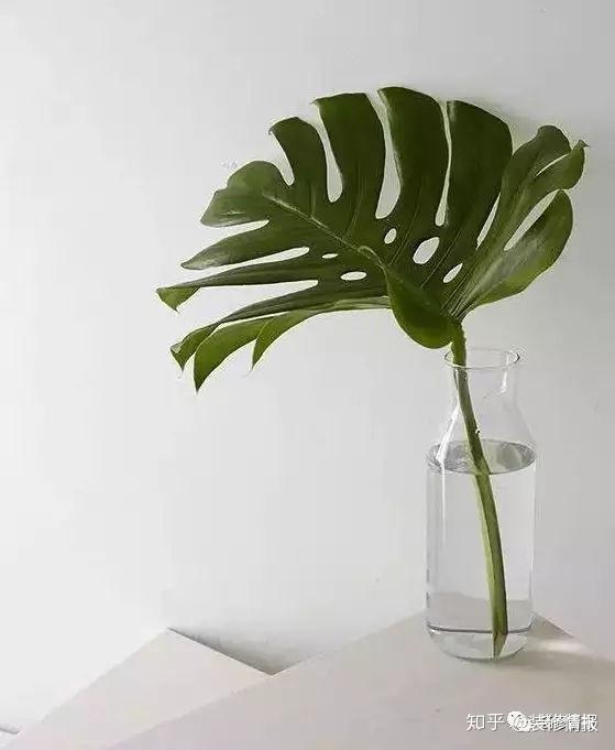 北欧风常见绿植:2,琴叶榕图片