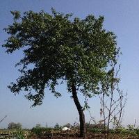 一颗歪脖子树