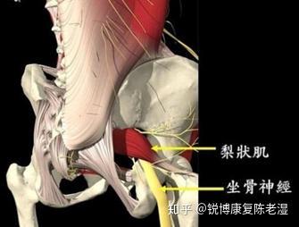 大腿神经分布图_梨状肌损伤怎么能恢复? - 知乎