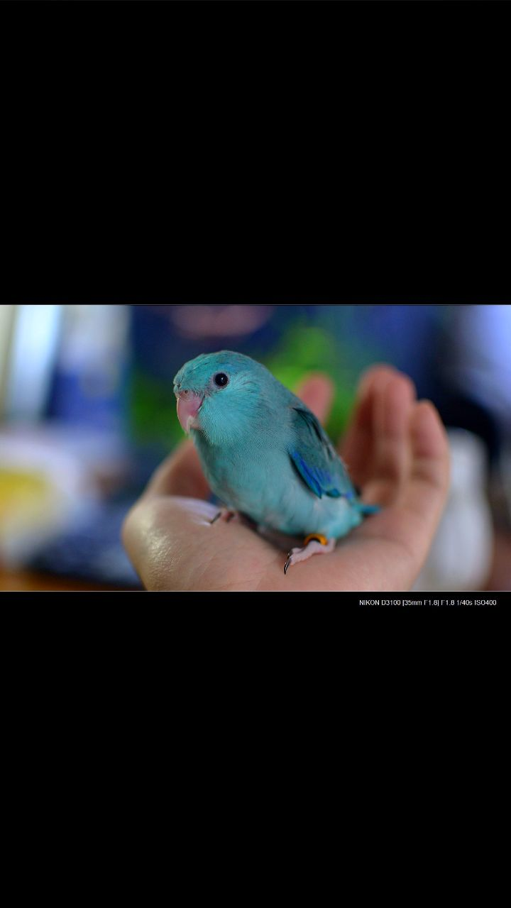 想养一只小型的,性格温顺的鹦鹉?