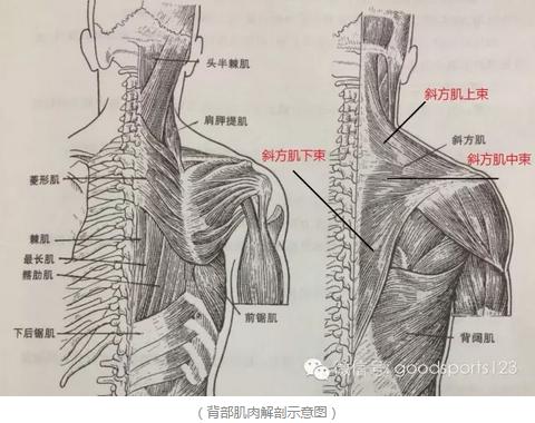斜方肌_两个思路:从训练到体态,让你潇洒摆脱高低肩-知乎