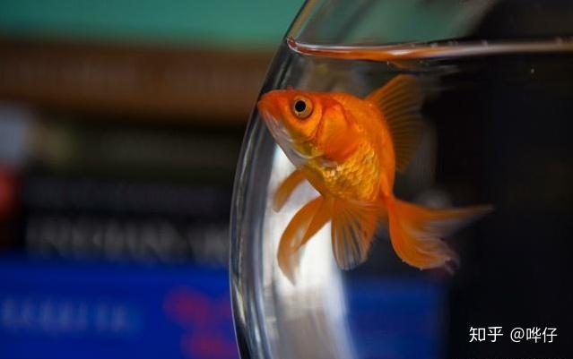 为什么金鱼刚回家就趴缸?你可能犯了天底下养鱼男人都会犯的错误(图1)