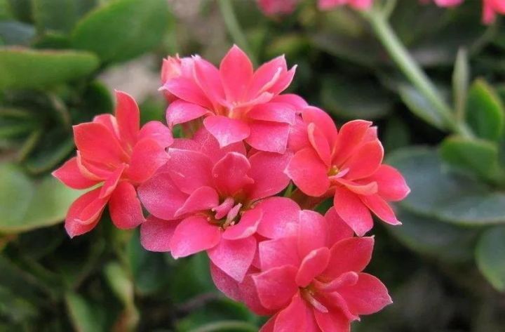 长寿花有几种颜色(这几款花色最漂亮)插图(4)