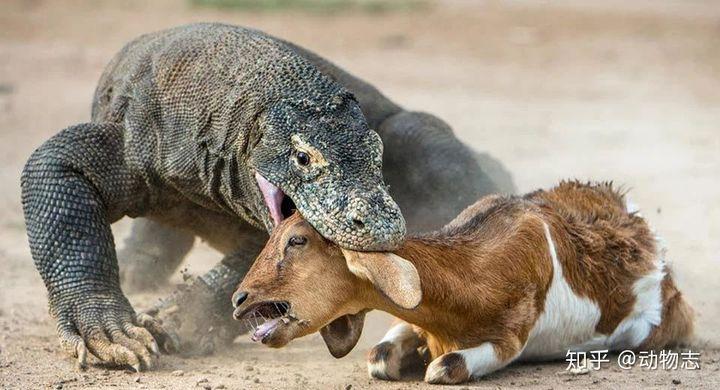 科莫多巨蜥的实力有多强,能打得过花豹吗?(图8)