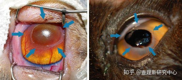 猫咪角膜腐骨(坏死性角膜炎)是什么病?怎么治疗啊?(图2)