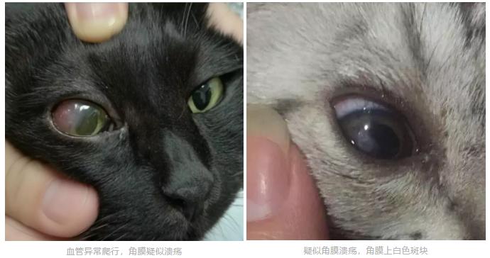 猫咪突然一只眼睛发红睁不开?警惕角膜炎5种常见症状(图2)