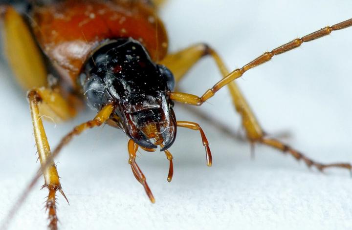 蟑螂怕什么东西(蟑螂不是没有天敌吗)插图(1)