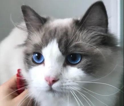 猫咪突然一只眼睛发红睁不开?警惕角膜炎5种常见症状(图8)