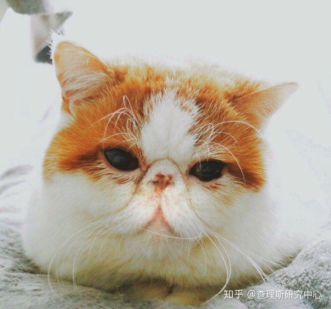 猫咪角膜腐骨(坏死性角膜炎)是什么病?怎么治疗啊?(图1)