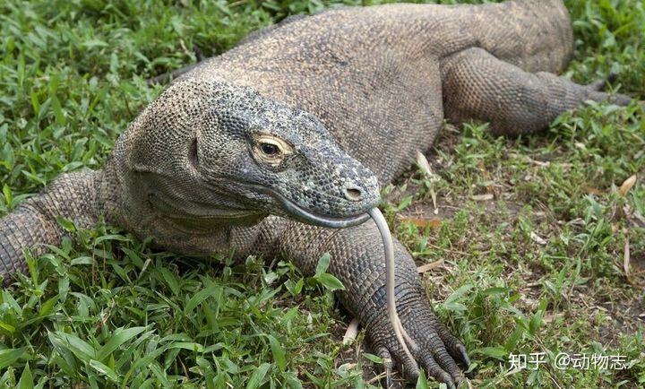 科莫多巨蜥的实力有多强,能打得过花豹吗?(图3)