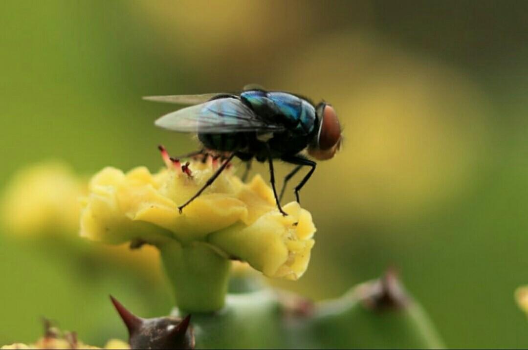 坚挺金苍蝇是什么_绿头苍蝇和红头苍蝇有什么区别?相比较来说哪个更脏?各国各 ...