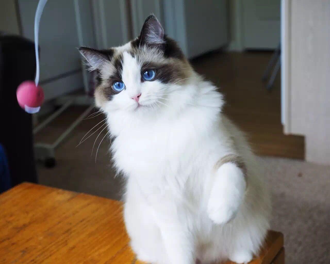 兜兜_养布偶猫是种怎样的体验? - 知乎