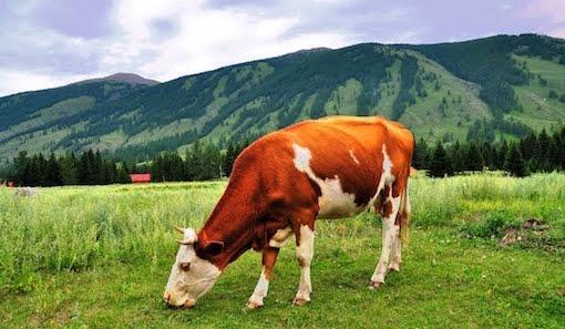 大牛养成指南(1):吃的草够多,你也能成为大牛