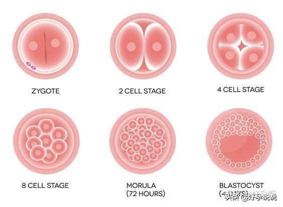 鲜胚、冻胚、囊胚,区别在哪?哪个成功率更高?插图