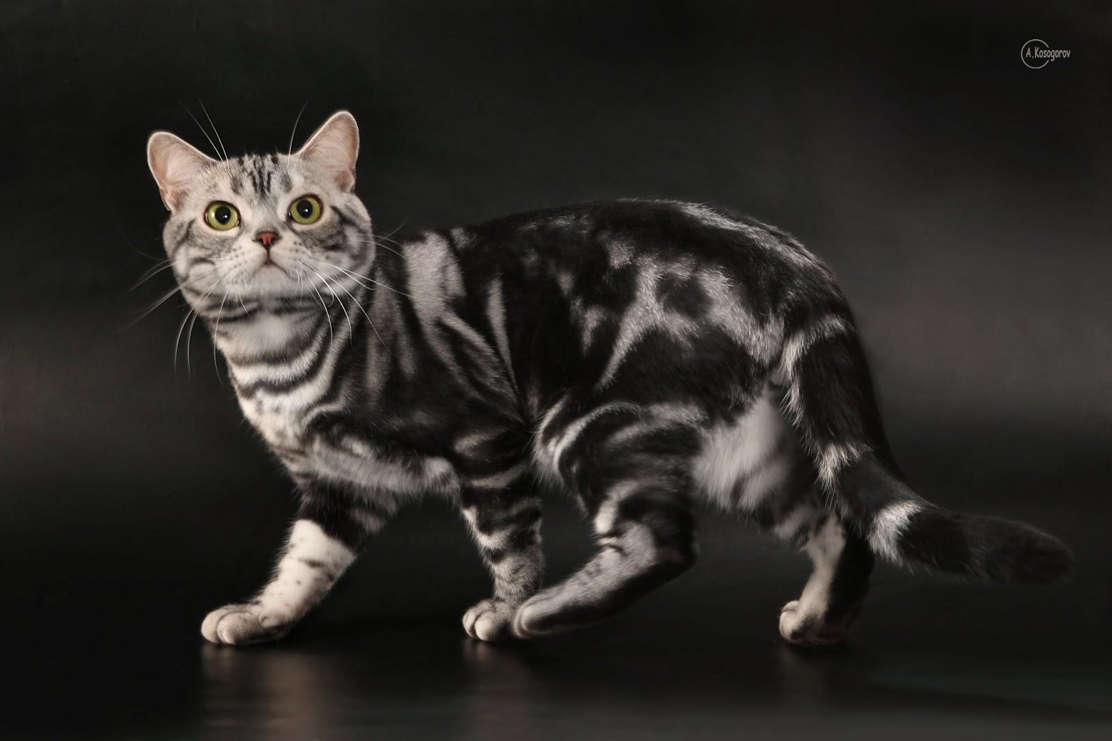 美短(美国短毛猫)和英短(英国短毛猫)有什么区别? - 知乎