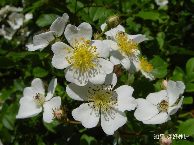 常见的家养花种类_盘点9大常见的蔷薇花品种,你见过几种? - 知乎