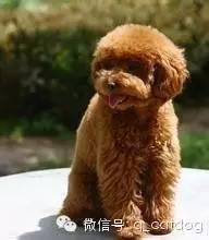贵宾狗和泰迪的区别_十大聪明狗狗和十大笨狗狗排行榜,你家那位有上榜吗? - 知乎