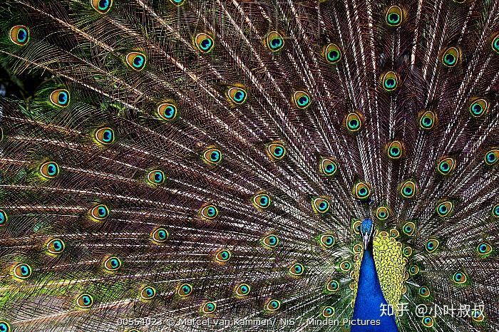 雏鸟为什么也长艳丽的羽毛?