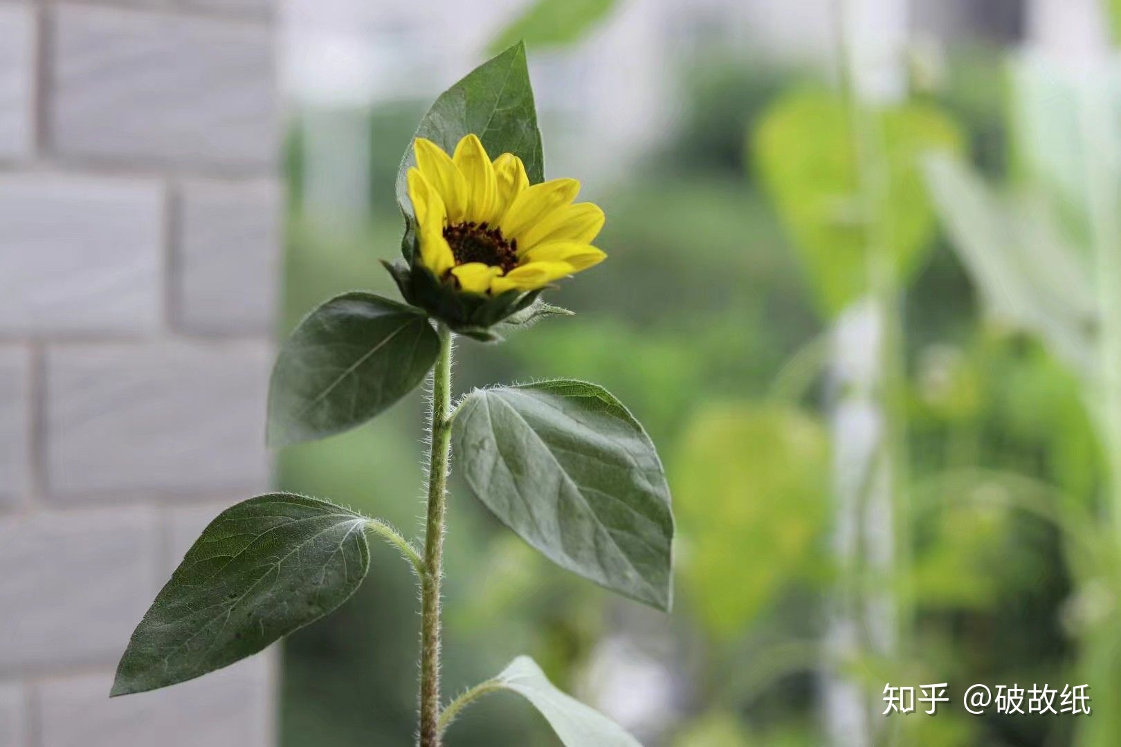 qq农场向日葵几季_寝室都养过什么奇葩植物? - 知乎