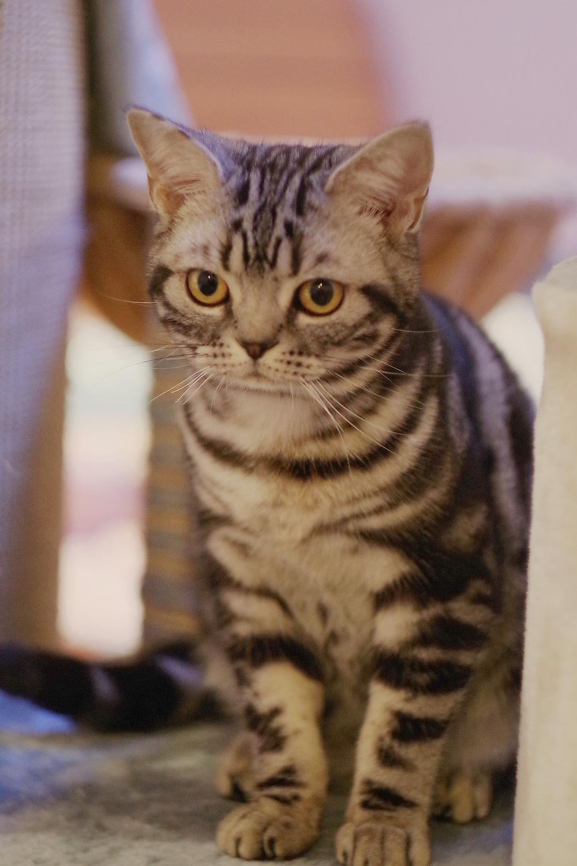 猫传腹(传染性腹膜炎)国内外治疗维持药物资料整理