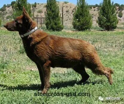 德国黑背德国牧羊犬_德国牧羊犬的毛色介绍(德牧毛色大全); - 知乎