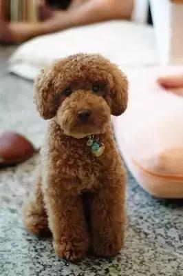 贵宾犬和泰迪的区别2