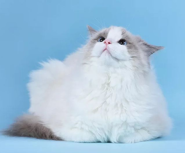 布偶猫,猫中的贵族