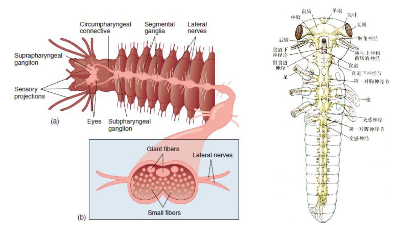 面神经走行图_无脊椎动物神经系统的演化简史 - 知乎