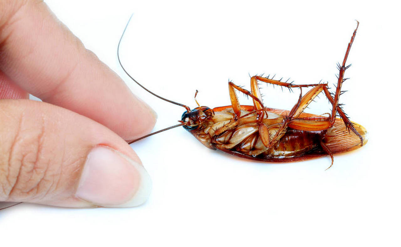 「蟑螂」的圖片搜尋結果