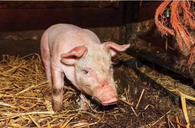 小猪腹泻怎么办?最全预防和治疗的方法,非常简单!