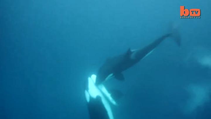 鲨鱼和鲸鱼哪个厉害?
