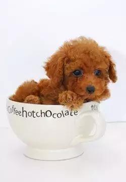 贵宾犬和泰迪的区别4