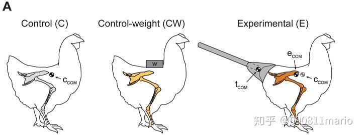 为什么给鸡装上假尾巴后,鸡的走路姿势会变得像恐龙一样?其它鸟类也会这样吗?