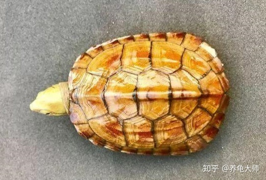 """黄喉拟水龟苗的饲养_关于黄喉拟水龟家庭""""深水""""饲养的分析 - 知乎"""