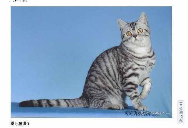 棕虎斑猫_美短虎斑和虎斑加白有什么不同? - 知乎