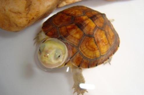 黄喉拟水龟苗的饲养_黄喉拟水龟饲养问题交流贴精选 - 知乎