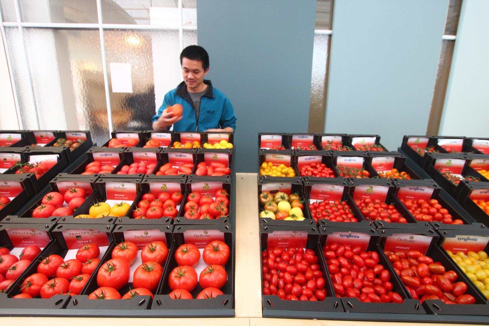 你见过几种番茄? 荷兰番茄种植网络tomatoworld访问