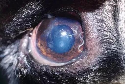 图解狗狗体内寄生虫_狗体内寄生虫种类,症状及治疗方法? - 知乎